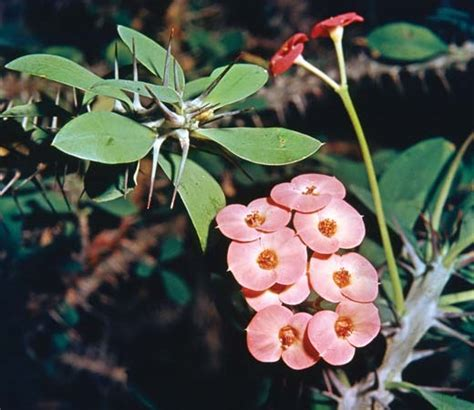crown of thorns   Plant, Description, & Meaning