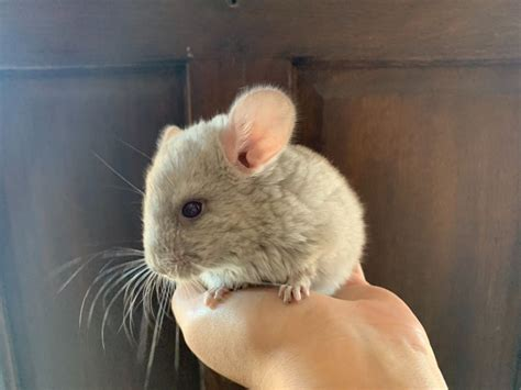 Baby Chinchilla for Sale | Ongar, Essex | Pets4Homes