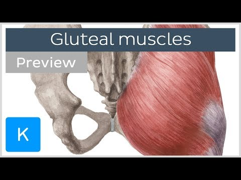 Cadaver Gluteal Region Dissection - YouTube