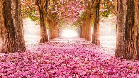 Blossom Spring Trees Alley HD Nature Wallpapers   HD